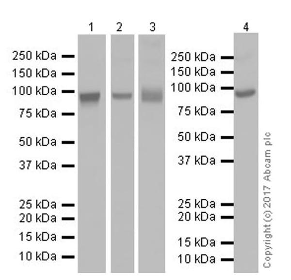 Western blot - Anti-Transferrin Receptor antibody [EPR20584] (ab214039)