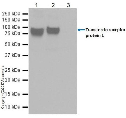Immunoprecipitation - Anti-Transferrin Receptor antibody [EPR20584] (ab214039)