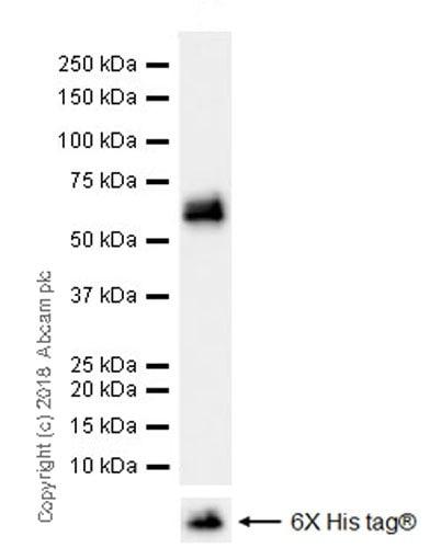Western blot - Anti-Osteopontin antibody [EPR21139-316] (ab214050)