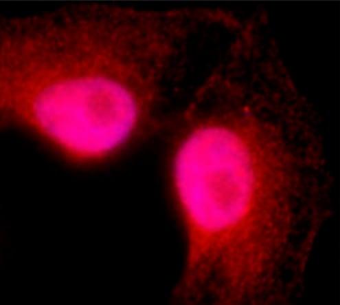 Immunocytochemistry/ Immunofluorescence - Anti-Exportin 4/XPO4 antibody [XP-12] - C-terminal (ab214066)