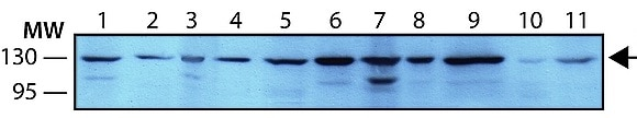 Western blot - Anti-Exportin 4/XPO4 antibody [XP-12] - C-terminal (ab214066)