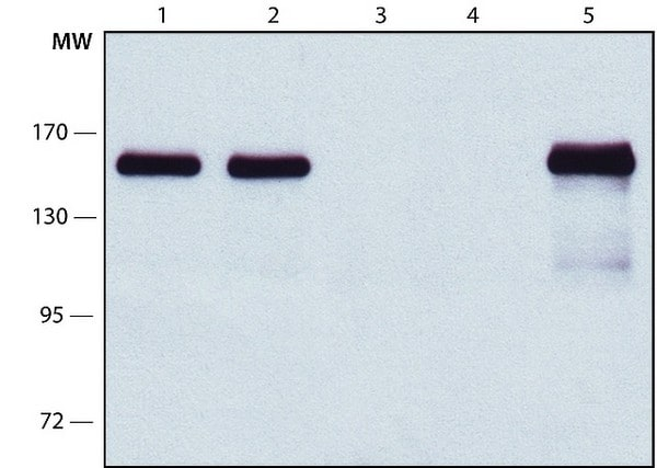 Immunoprecipitation - Anti-KIAA1543 antibody [NEZHA-1] - C-terminal (ab214073)