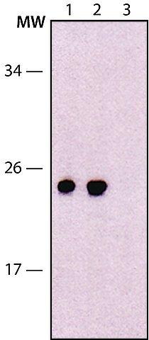 Western blot - Anti-EXOSC5/CML28 antibody [EXOSC5(A)-2] - N-terminal (ab214081)