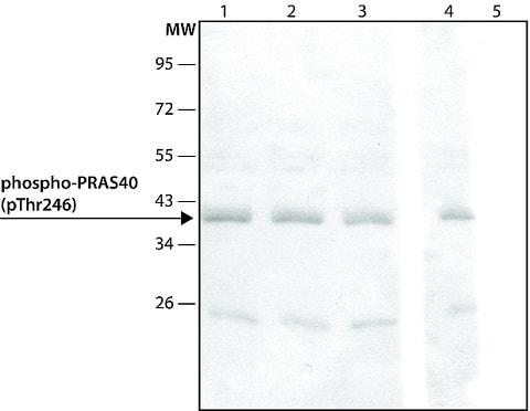 Western blot - Anti-PRAS40 (phospho T246) antibody (ab214100)