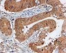 Immunohistochemistry (Formalin/PFA-fixed paraffin-embedded sections) - Anti-ERK1 antibody [EP4967] - BSA and Azide free (ab214169)