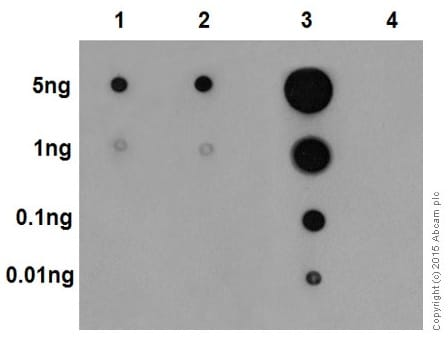 Dot Blot - Anti-Erk1 (pT202/pY204) + Erk2 (pT185/pY187) antibody [EP197Y] - BSA and Azide free (ab214171)