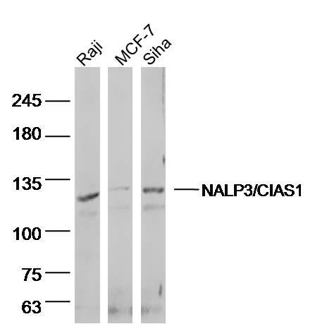 Western blot - Anti-NLRP3 antibody (ab214185)