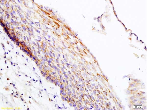 Immunohistochemistry (Formalin/PFA-fixed paraffin-embedded sections) - Anti-PER2 antibody (ab214209)