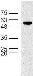 Western blot - Anti-TUBD1 antibody (ab214216)