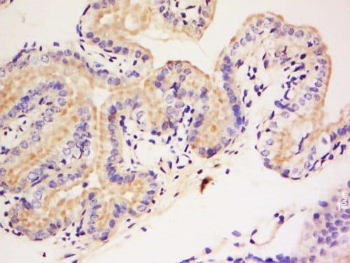 Immunohistochemistry (Formalin/PFA-fixed paraffin-embedded sections) - Anti-DAGLB antibody (ab214233)