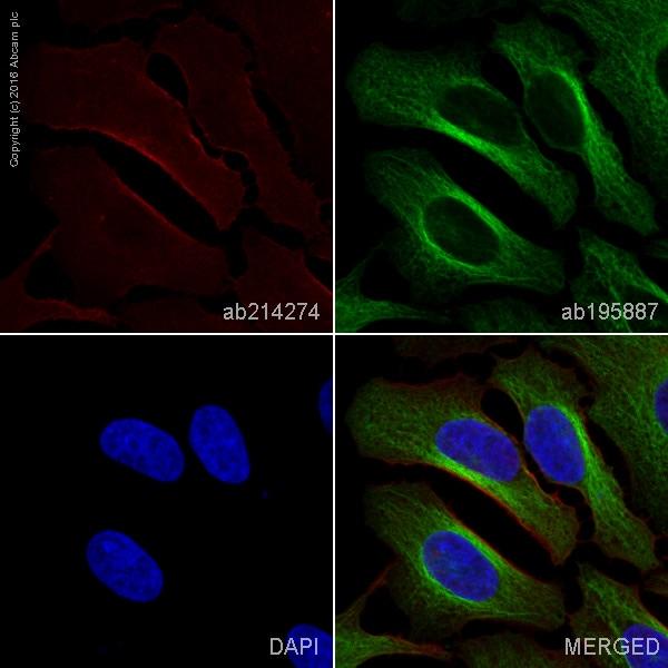 Immunocytochemistry/ Immunofluorescence - Anti-SIRP alpha antibody [EPR16264] (Alexa Fluor® 647) (ab214274)