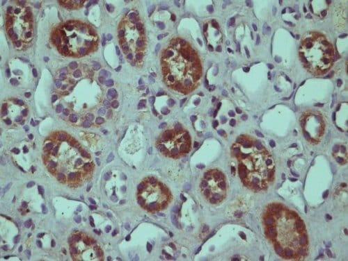 Immunohistochemistry (Formalin/PFA-fixed paraffin-embedded sections) - Anti-RGC-32 antibody - C-terminal (ab214294)