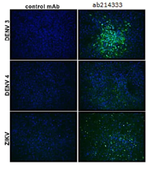 Immunocytochemistry/ Immunofluorescence - Anti-Flavivirus E-glycoprotein antibody [HF8-2/B2-2/E10] (ab214333)