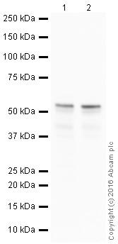 Western blot - Anti-ERG antibody [EPR3864-ChiM-IgG2b] - Chimeric (ab214341)