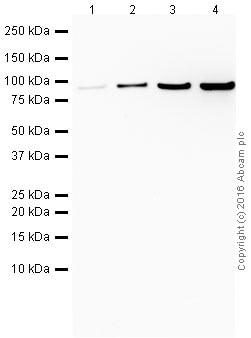 Western blot - Anti-Gelsolin antibody (ab214342)
