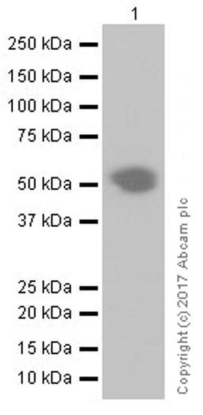 Western blot - Anti-PD1 antibody [EPR20665] (ab214421)