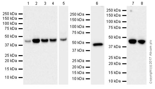 Western blot - Anti-VEGFA antibody [EPR20705] (ab214424)
