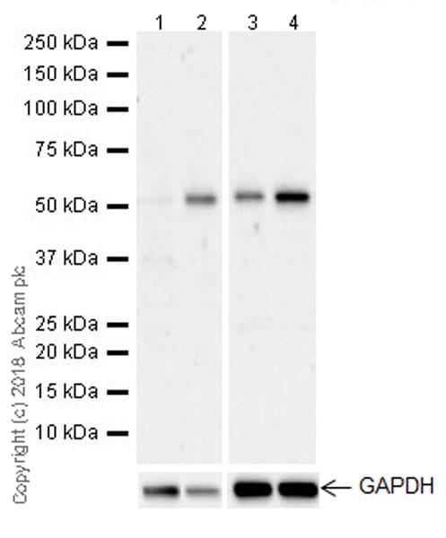 Western blot - Anti-LOX 1 antibody [EPR20750] (ab214427)