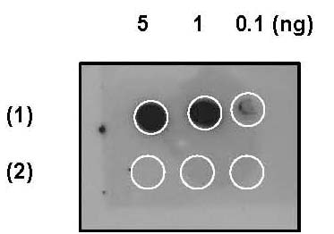 Dot Blot - Anti-EIF2S1 (phospho S51) antibody [E90] - BSA and Azide free (ab214434)