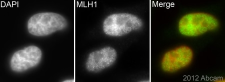 Immunocytochemistry/ Immunofluorescence - Anti-MLH1 antibody [EPR3894] - BSA and Azide free (ab214441)
