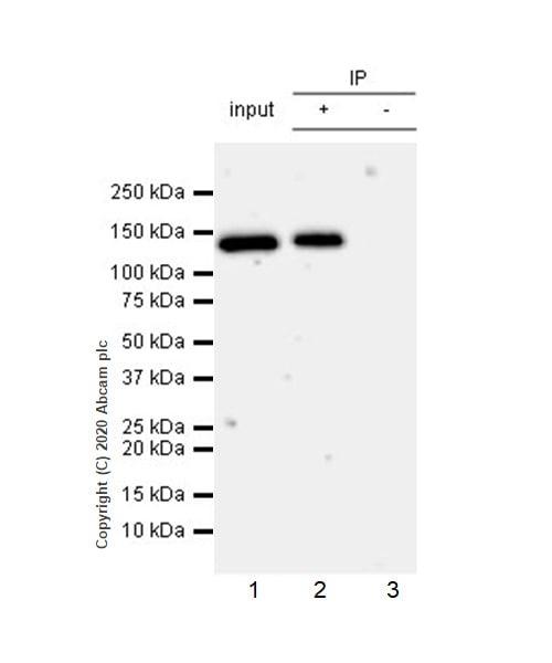 Immunoprecipitation - Anti-PMS2 antibody [EPR3947] - BSA and Azide free (ab214442)