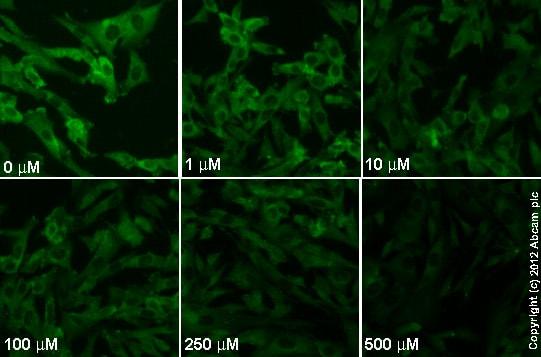 Immunocytochemistry/ Immunofluorescence - Anti-MEK1 (phospho S298) antibody [EPR3338] - BSA and Azide free (ab214445)