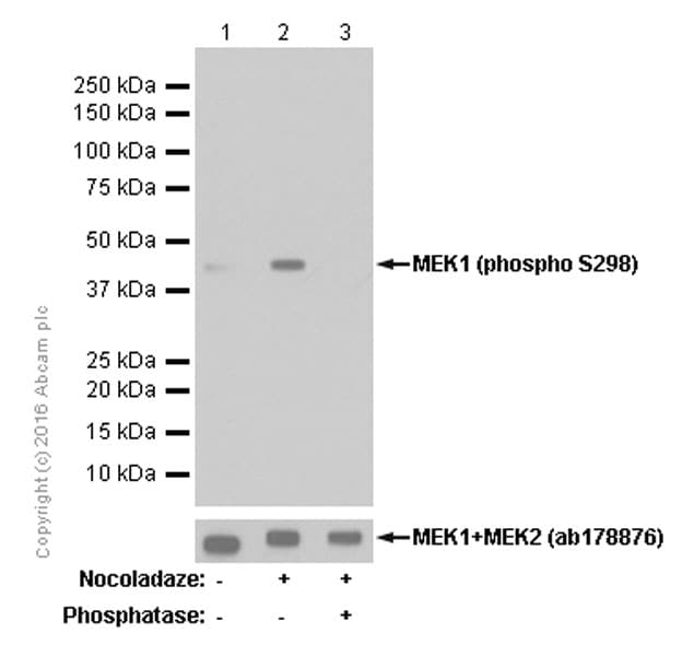 Western blot - Anti-MEK1 (phospho S298) antibody [EPR3338] - BSA and Azide free (ab214445)