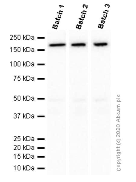 Western blot - Anti-MSH6 antibody [EPR3945] - BSA and Azide free (ab214454)