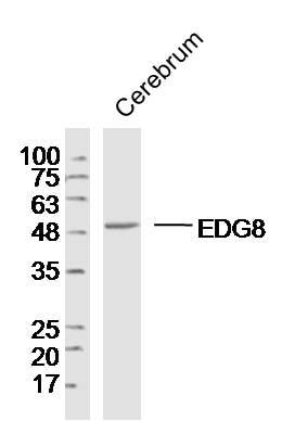 Western blot - Anti-EDG8 antibody (ab214464)