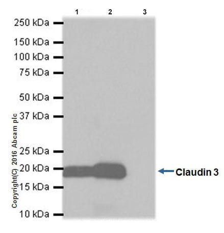 Immunoprecipitation - Anti-Claudin 3 antibody [EPR19971] (ab214487)