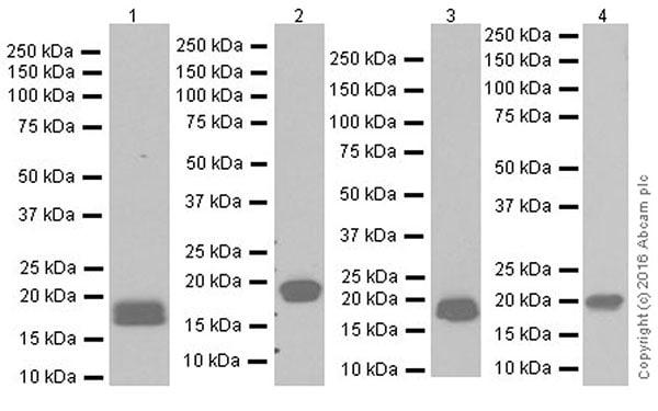 Western blot - Anti-Claudin 3 antibody [EPR19971] (ab214487)