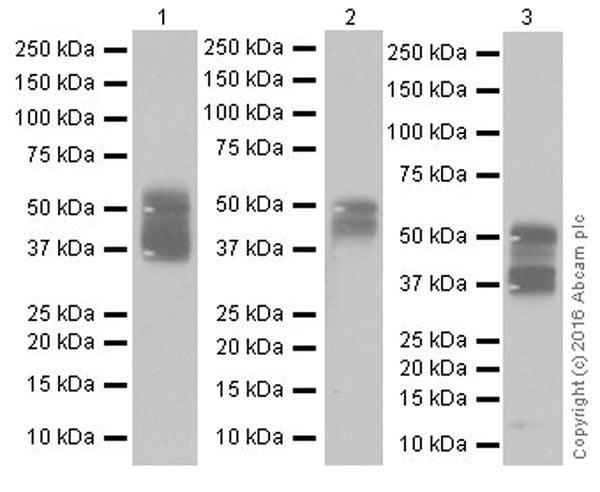 Western blot - Anti-TROP2 antibody [EPR20043] (ab214488)