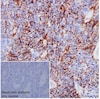 Immunohistochemistry (Formalin/PFA-fixed paraffin-embedded sections) - Anti-Claudin 7/CLDN-7 antibody [EPR18073] - BSA and Azide free (ab214576)