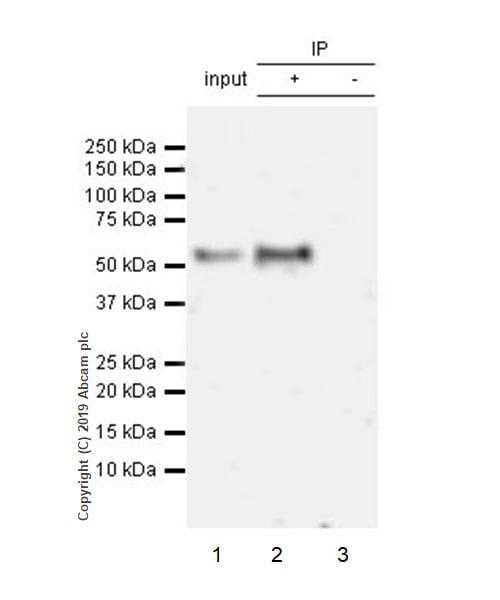 Immunoprecipitation - Anti-KLF4 antibody [EPR20753-25] (ab214666)