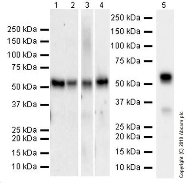 Western blot - Anti-KLF4 antibody [EPR20753-25] (ab214666)