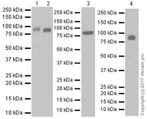 Western blot - Anti-NAGLU/NAG antibody [EPR20708] (ab214671)