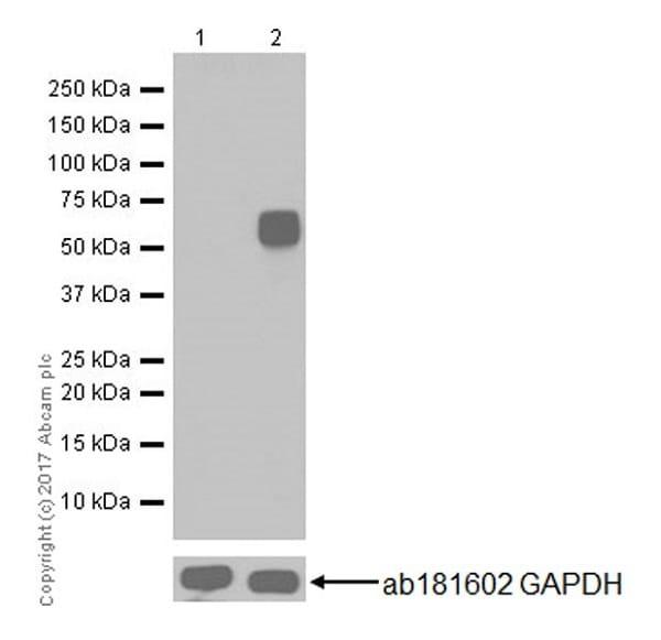 Western blot - Anti-c-Fos antibody [EPR20769] (ab214672)