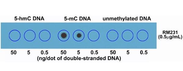 Dot Blot - Anti-5-methylcytosine (5-mC) antibody [RM231] (ab214727)