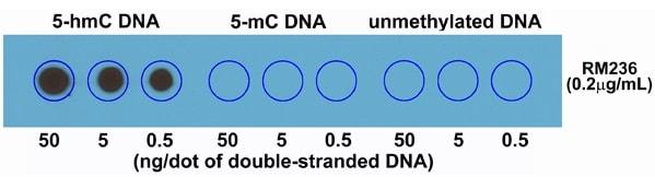Dot Blot - Anti-5-hydroxymethylcytosine (5-hmC) antibody [RM236] (ab214728)