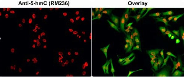 Immunocytochemistry - Anti-5-hydroxymethylcytosine (5-hmC) antibody [RM236] (ab214728)