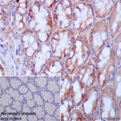 Immunohistochemistry (Formalin/PFA-fixed paraffin-embedded sections) - Anti-Ret antibody [EPR2871] - BSA and Azide free (ab214791)