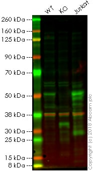 Western blot - Anti-GATA3 antibody [EPR16651] - BSA and Azide free (ab214804)