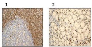 Immunohistochemistry (Formalin/PFA-fixed paraffin-embedded sections) - Anti-APE1 antibody [EPR4022] - BSA and Azide free (ab214805)