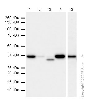 Western blot - Anti-APE1 antibody [EPR4022] - BSA and Azide free (ab214805)