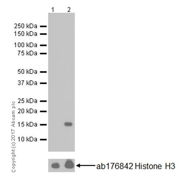 Western blot - Anti-Histone H3 (acetyl K64) antibody [EPR20713] - ChIP Grade (ab214808)