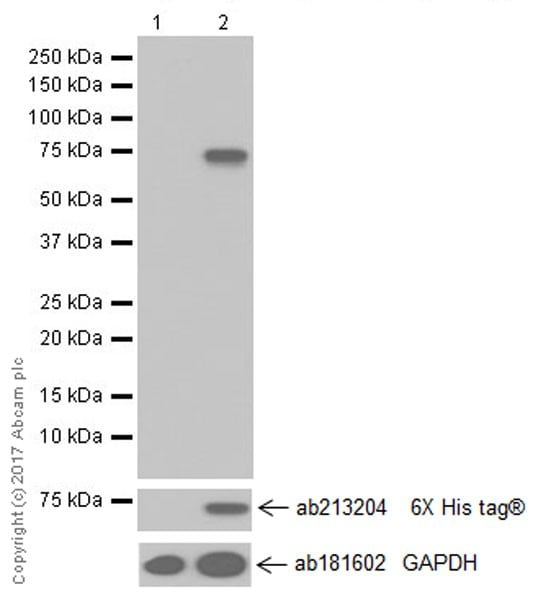Western blot - Anti-PADI4 / PAD4 antibody [EPR20706] (ab214810)