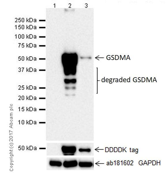 Western blot - Anti-GSDMA antibody [EPR19858-17] (ab214818)