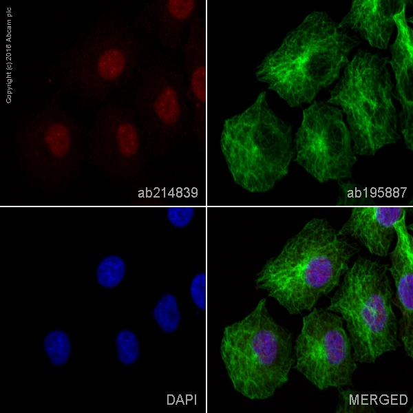 Immunocytochemistry/ Immunofluorescence - Anti-STAT5a antibody [E289] (Alexa Fluor® 594) (ab214839)