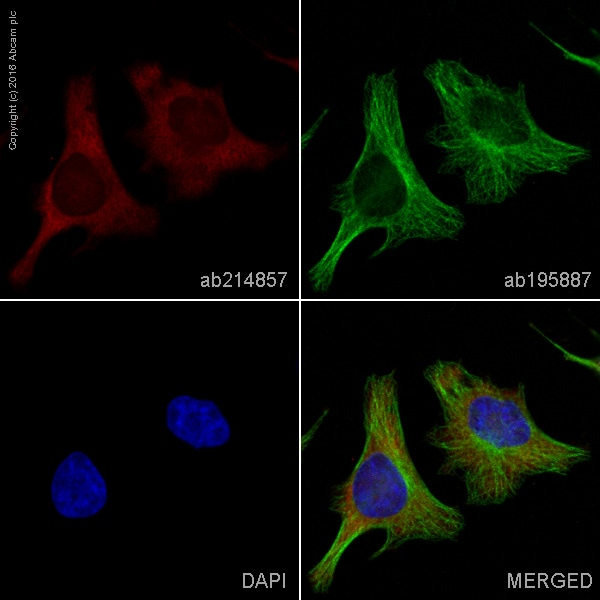 Immunocytochemistry/ Immunofluorescence - Anti-Lactate Dehydrogenase antibody [EP1566Y] (Alexa Fluor® 594) (ab214857)