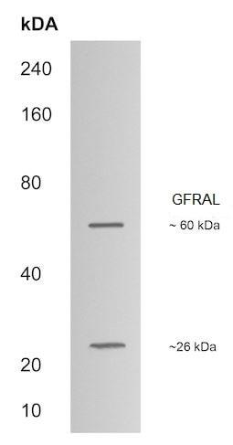 Western blot - Anti-GFRAL antibody (ab214929)